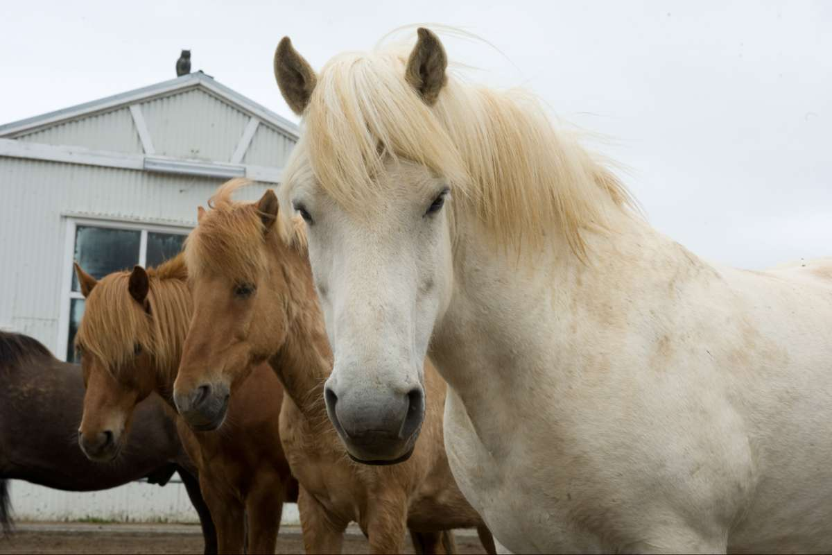 Icelandic-horse-riding-tour
