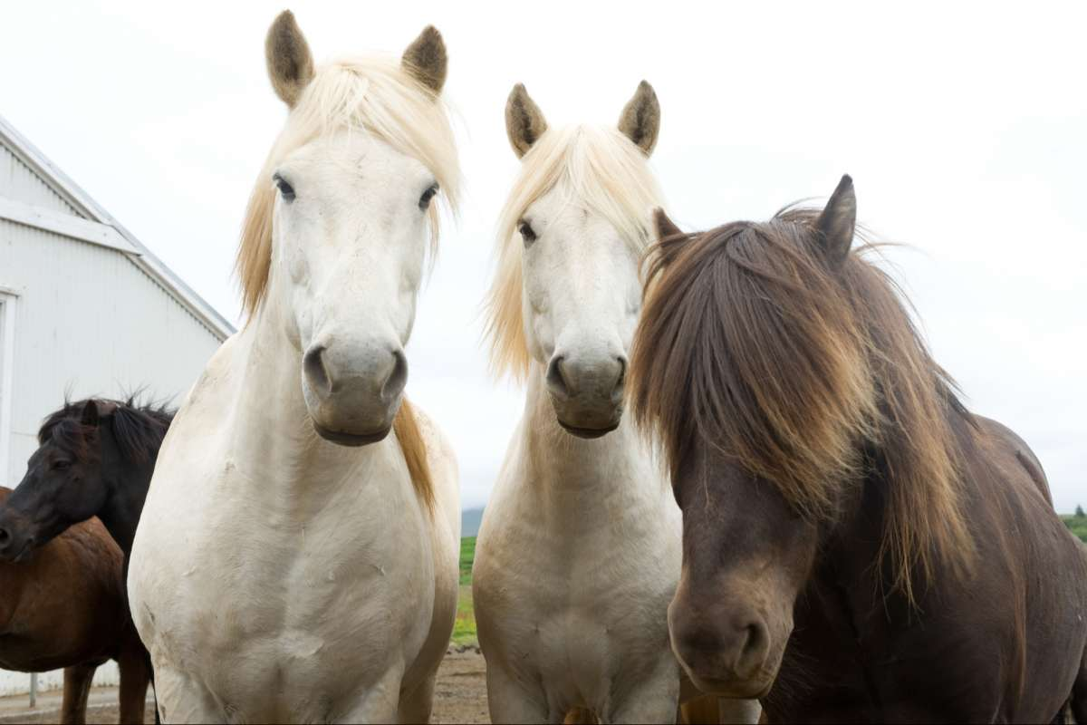 Icelandic-horse-riding-tour