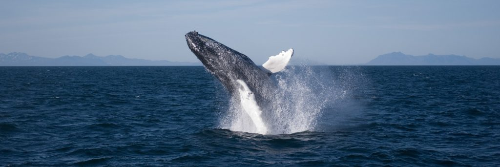 Jumping Humpback in Iceland