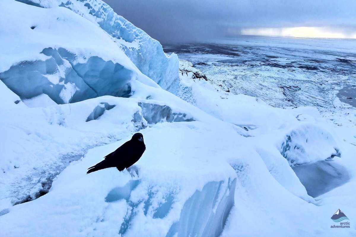 A raven in Skaftafell Iceland
