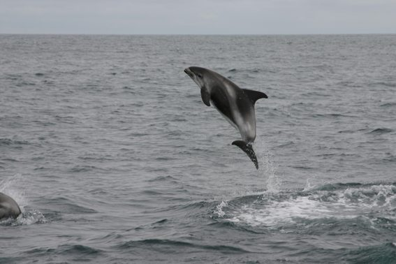 Whale-Watching-Iceland-dolphin