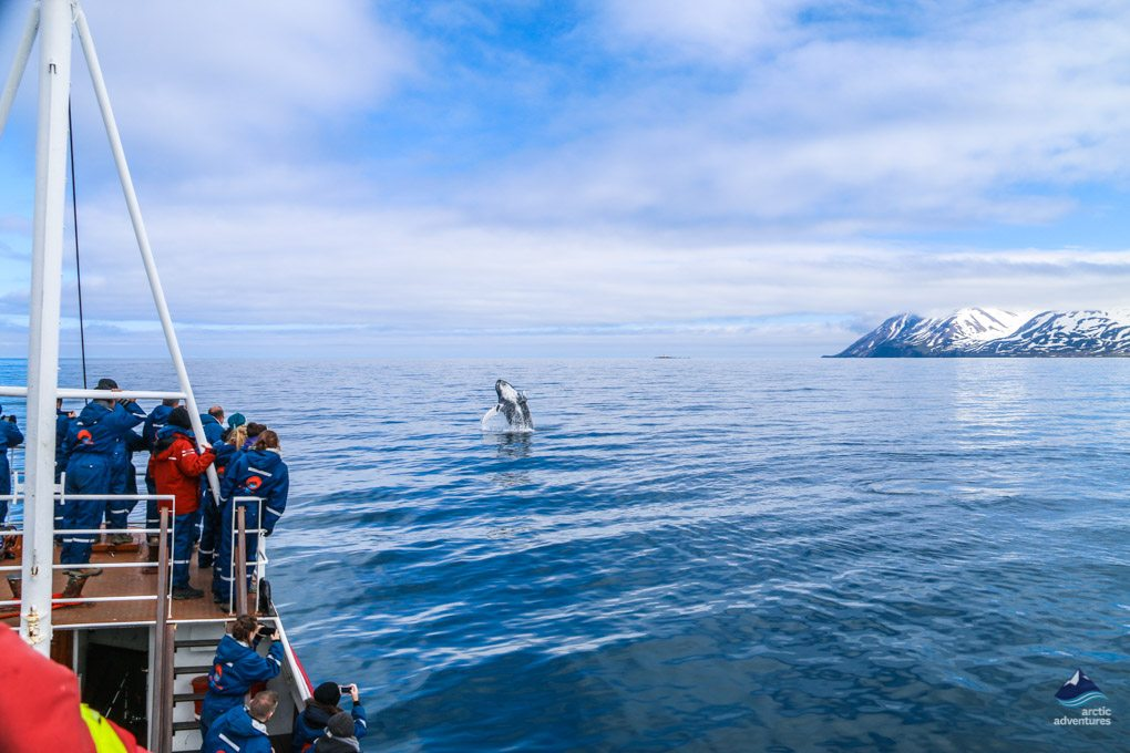 Whale spotting in Whale Watching Tour in Iceland