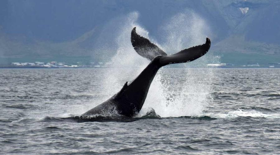 Iceland Whale Watchin Tours