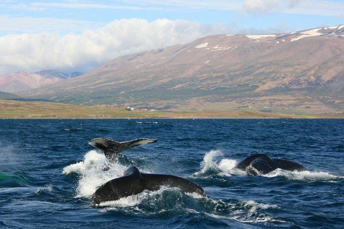 Rib-boat-whale-watching-dalvik-Iceland