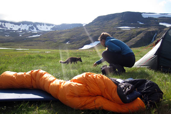 An Arctic Fox in Westfjords Iceland