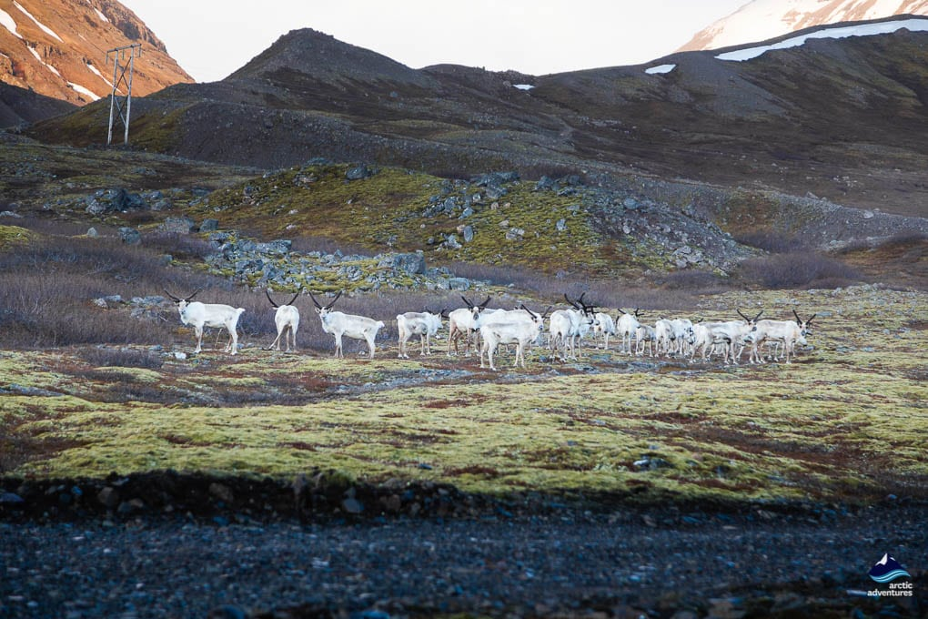 Reindeer in the Eastfjords in Iceland