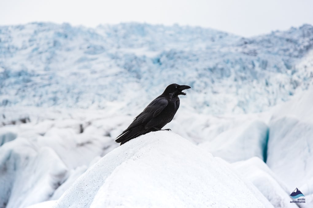 Raven in Iceland