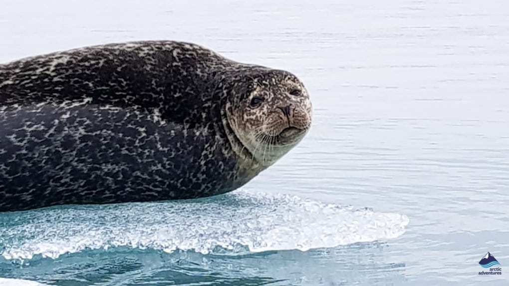 seal at jokulsarlon glacier lagoon