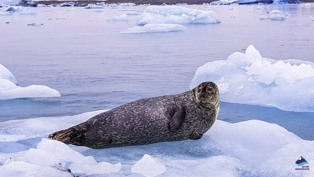 Seal at Jokulsarlon Glacier Lagonm Iceland