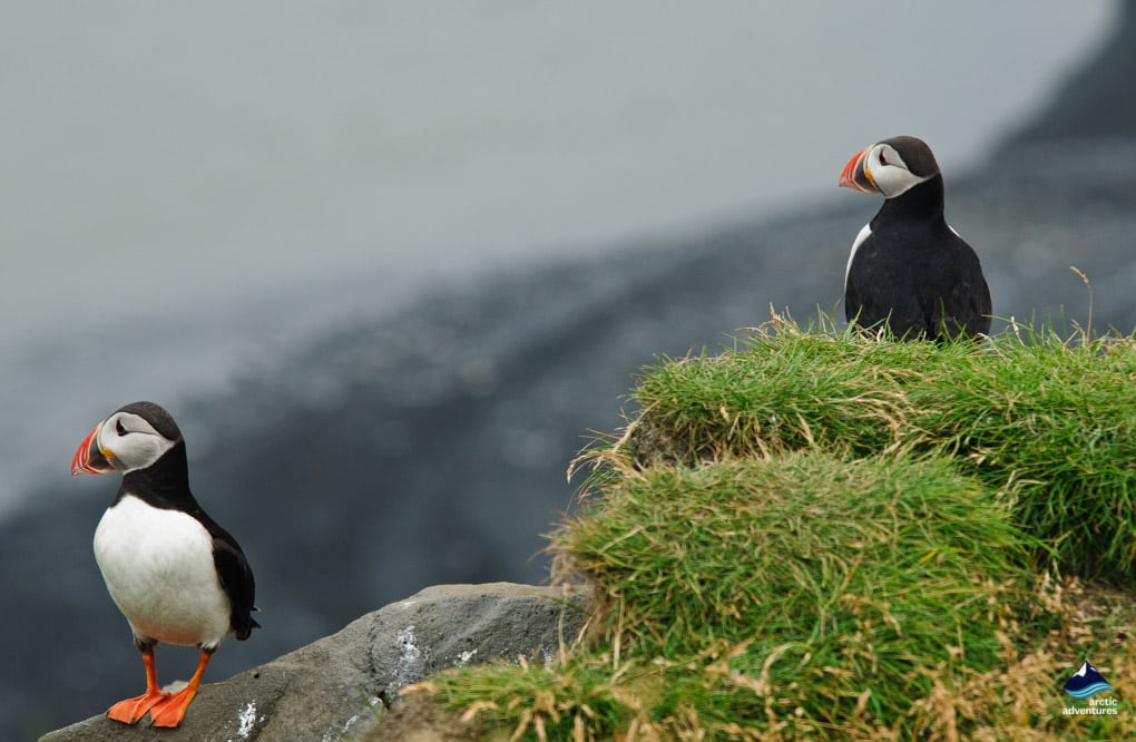 pair of puffins in Iceland