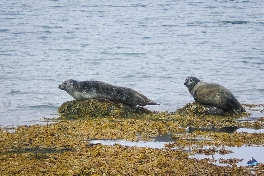 Seals Relaxing in Iceland