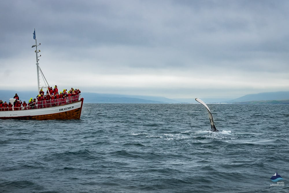 Humpback Whale in the North of Iceland