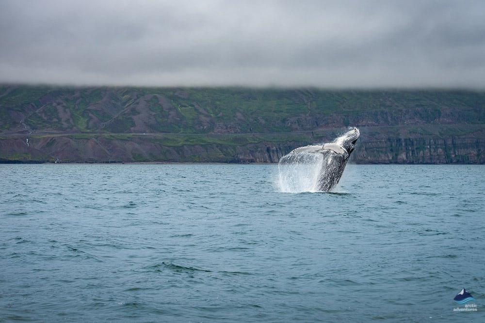 Humpback whale in the North