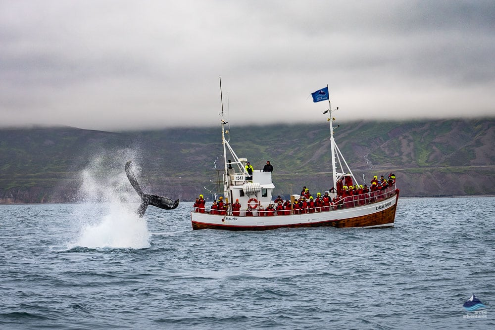 Whale Watching Tour from Dalvík North Iceland