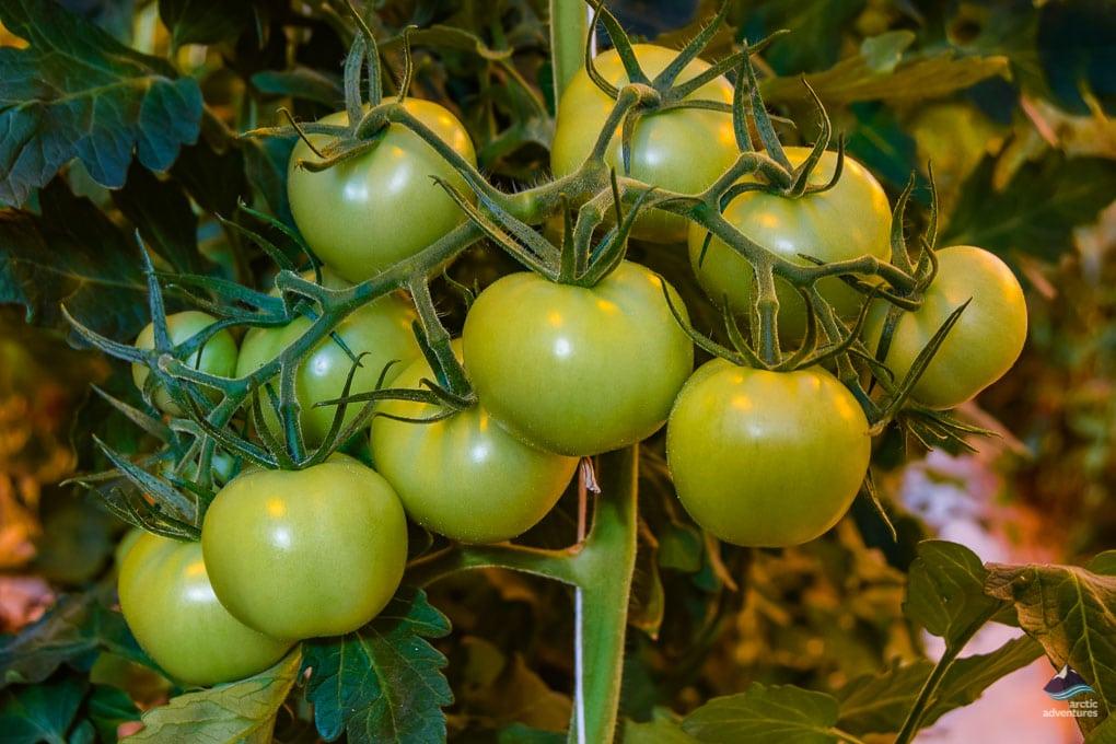 Tomatos at Fridheimar Farm