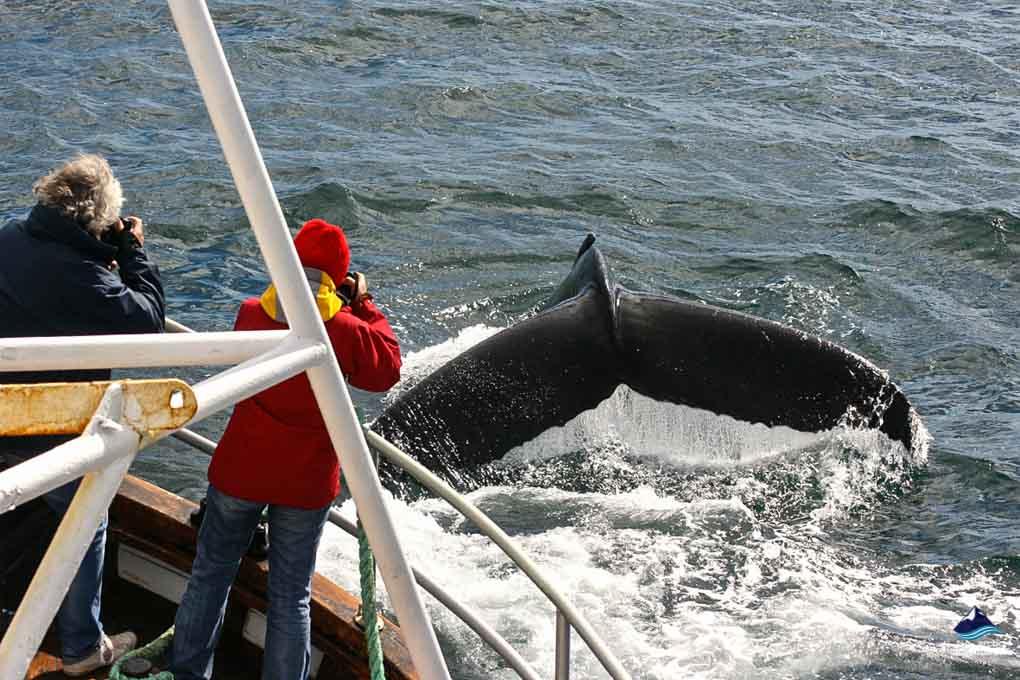Whale splashing in Iceland