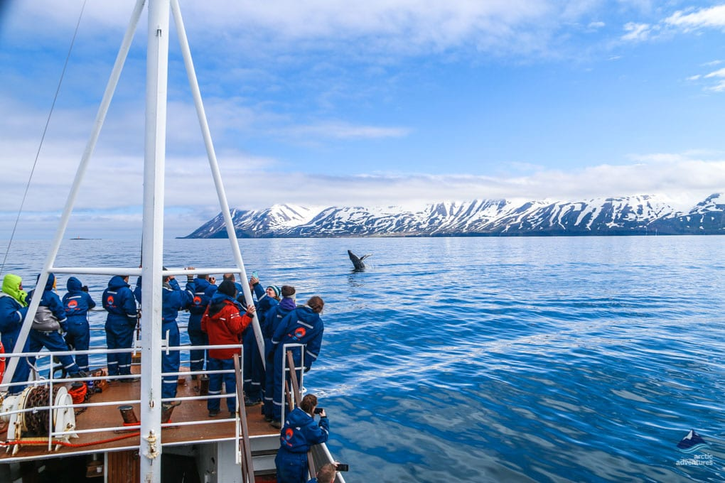 Humpback Whales on a Whale Watching Tour in Iceland