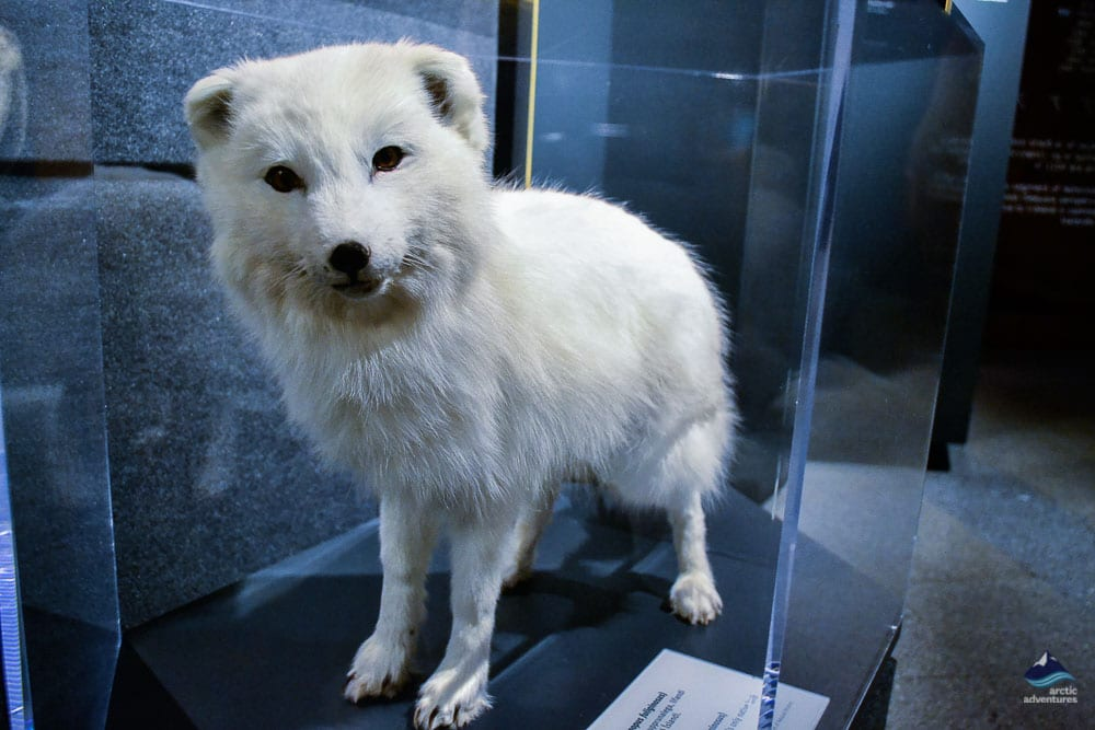 Arctic Fox at Perlan Exhibition