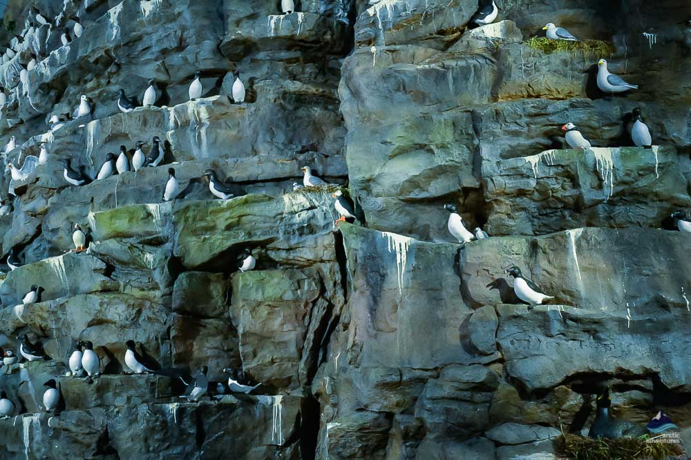 Real Size Bird Cliff in Perlan