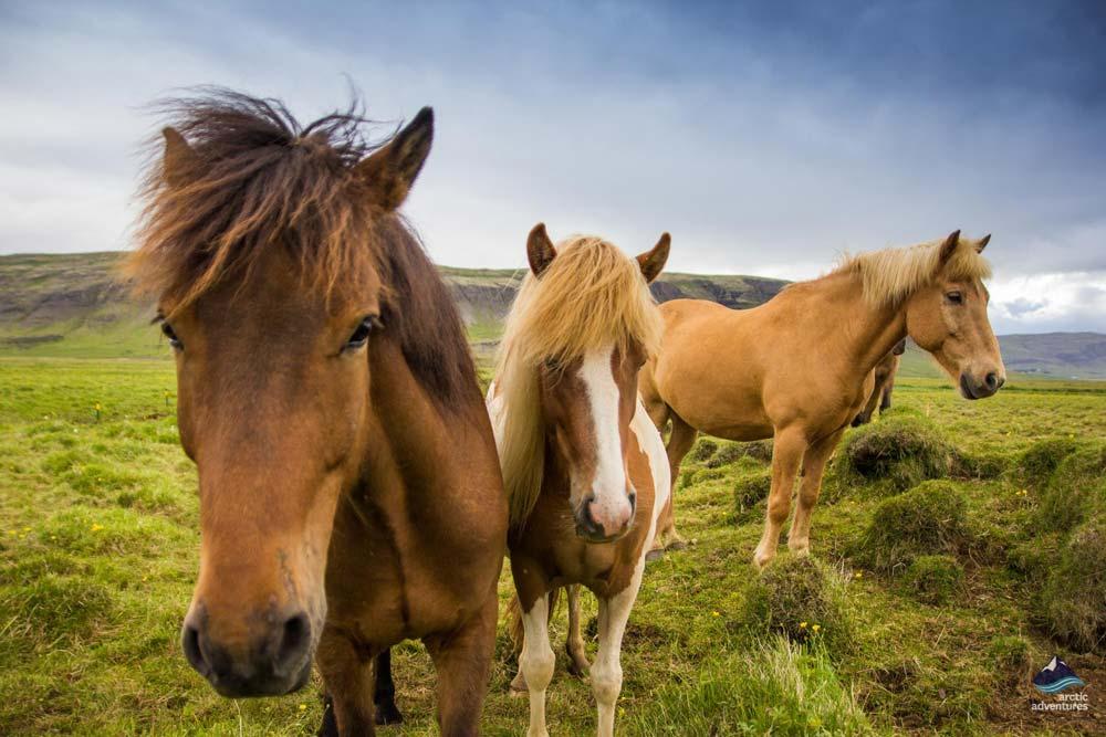 group-icelandic-horses-summer