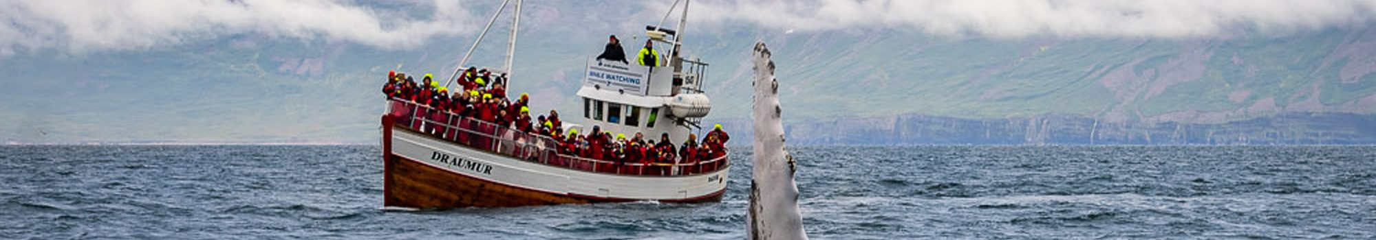 whale watching in the north of iceland