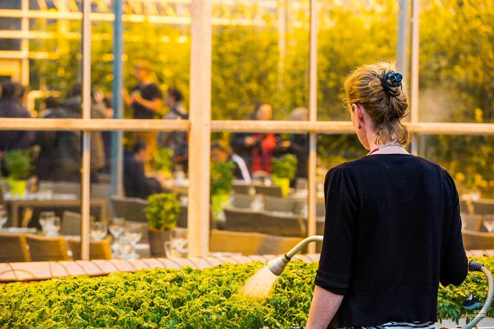 A girl watering the tomatoes in Fridheimar