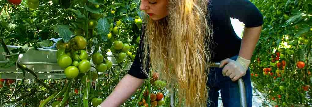 Tomato picking in Fridheimar
