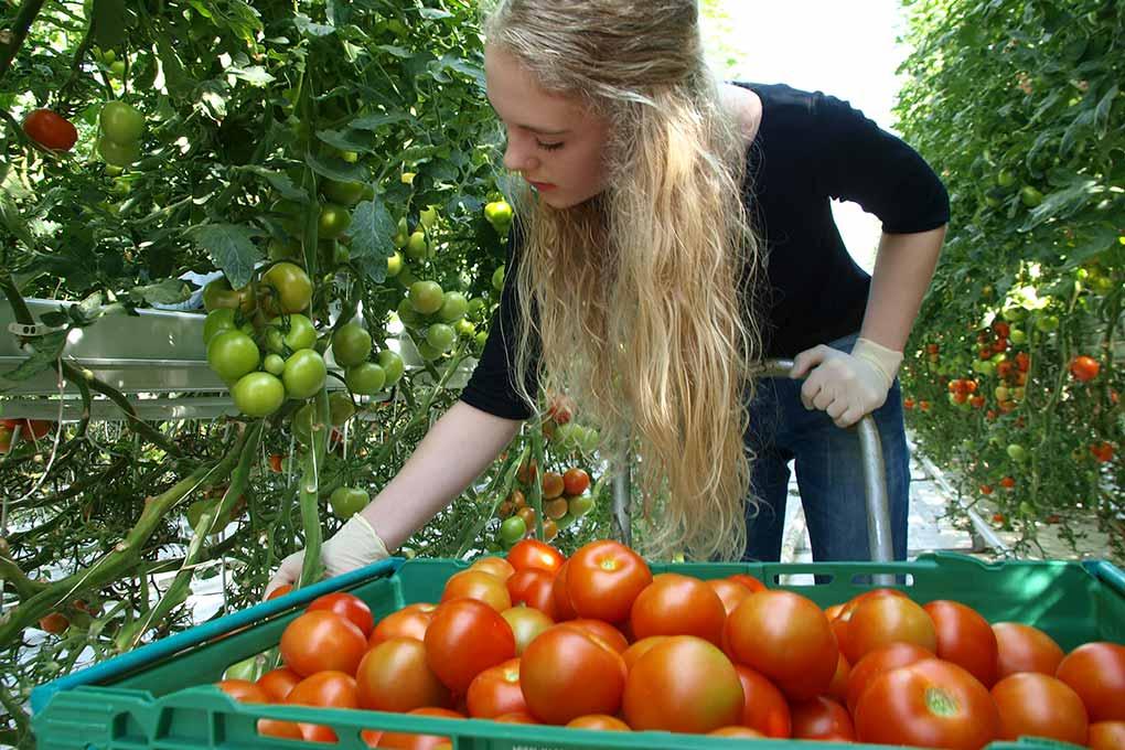 fridheimar-tomato-farm