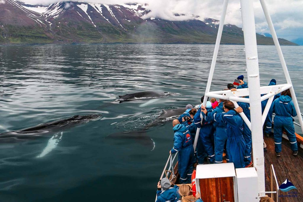 Whale watching from a boatr in Dalvik in Iceland