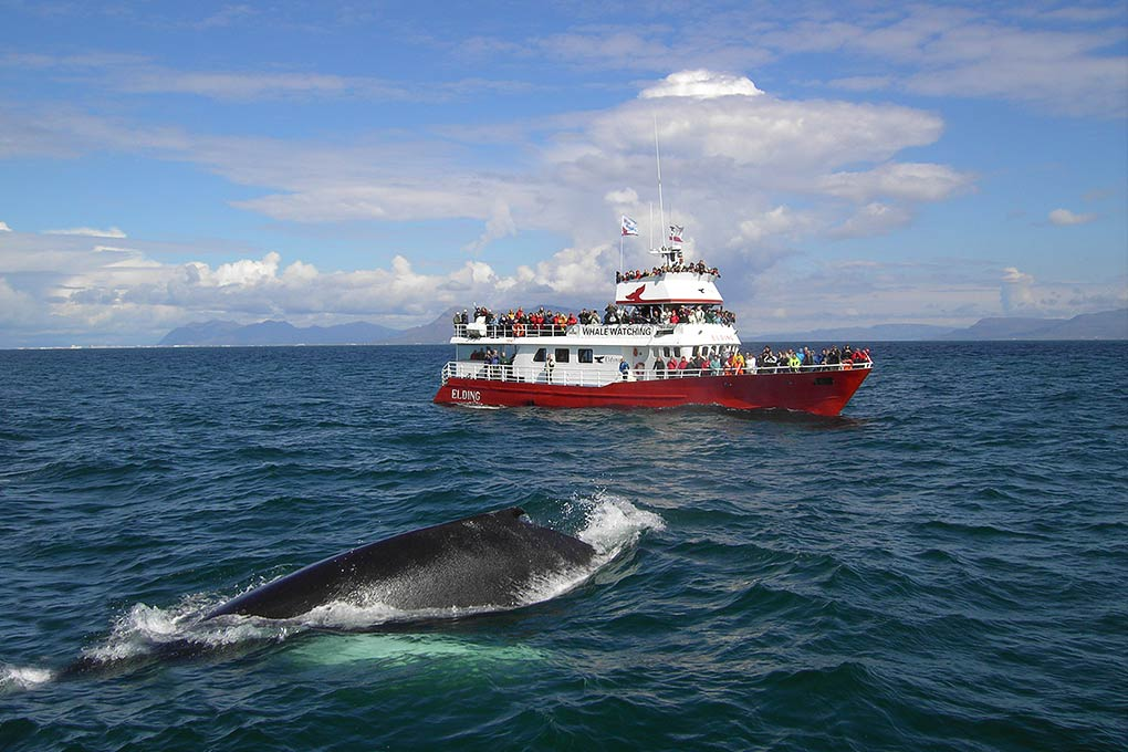 reykjavik-whale-watching