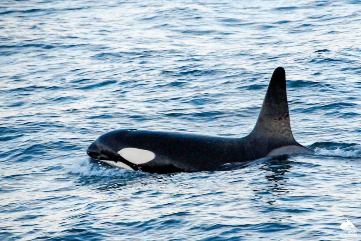 Orca whale watching Olafsvík