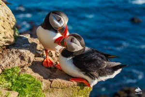 Puffins on the rock edge