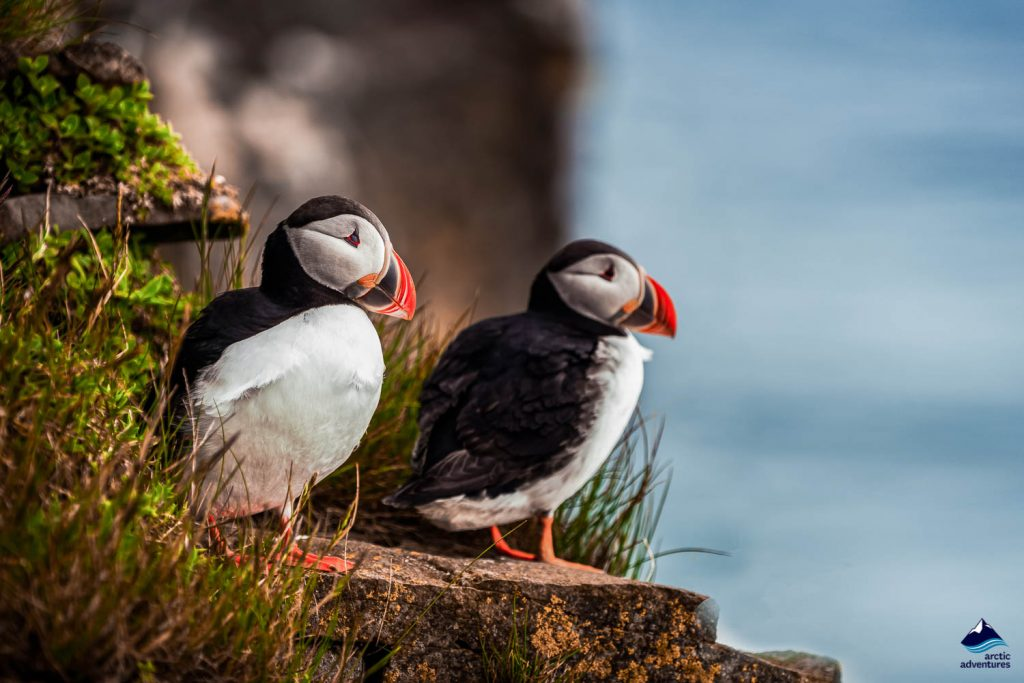 A pair of Atlantic Puffins stand at the edge of Látrabjarg cliffs