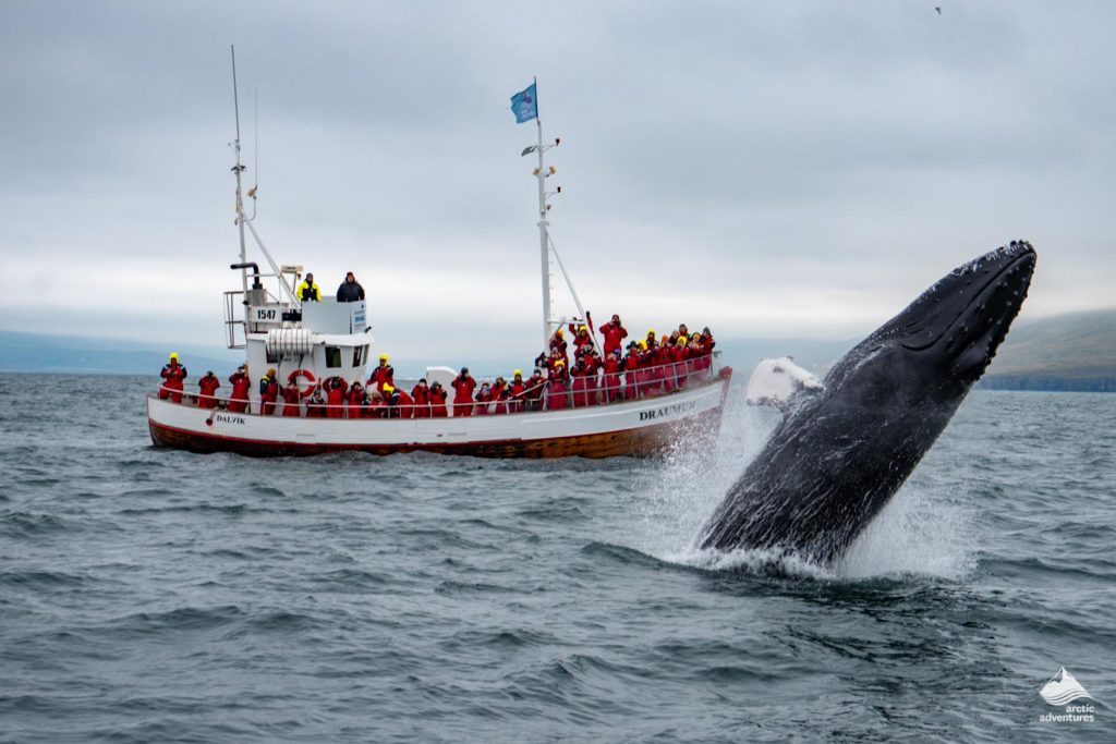 Dalvik whale watching from a boat