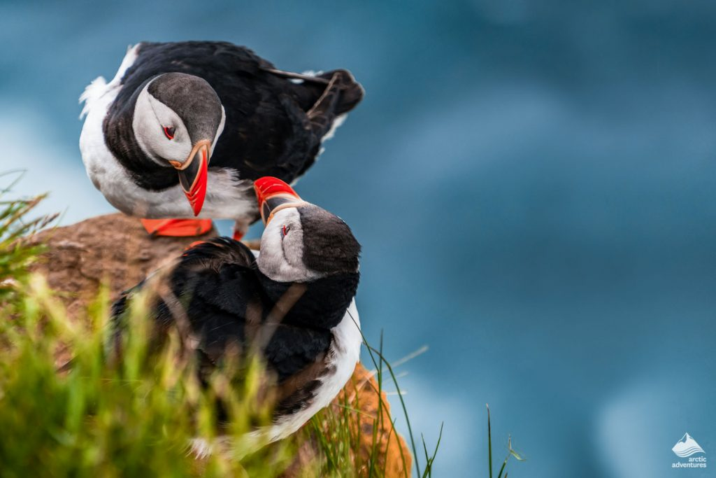 Couple of puffins on cliff in Iceland